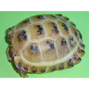 Russian Tortoise Golen boy