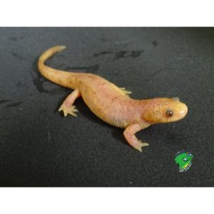 Spanish Ribbed Newt Leucistic juvenile