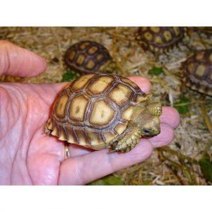 Sulcata Tortoise baby in hand