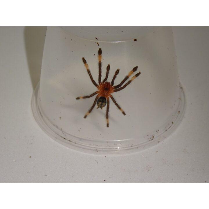 Venezuelan SunTiger spiderling
