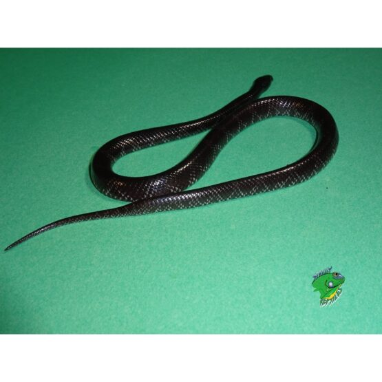 African Wolf Snake adult