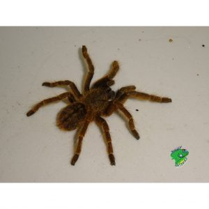 Chinese Earth Tiger Tarantula 3in