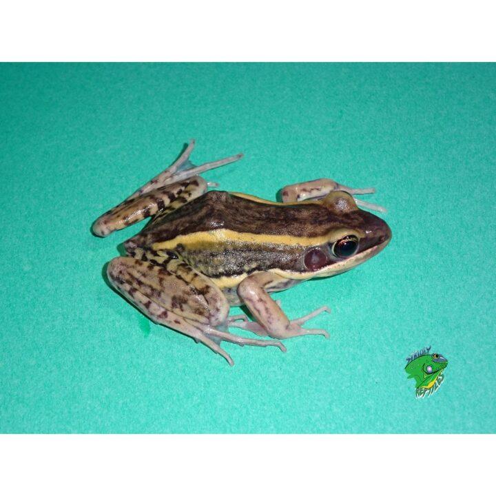Galam White Lip Frog
