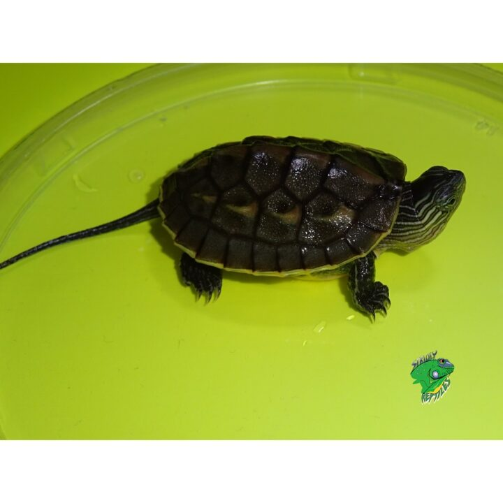 Golden Thread Turtle baby