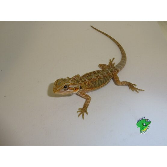 Hypo Translucent Bearded Drago baby