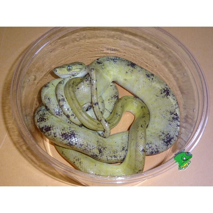 Lemon Cream Amazon Tree Boa adult on orange