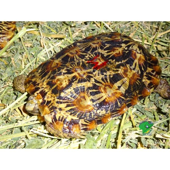 Pancake Tortoise 5-6 inch