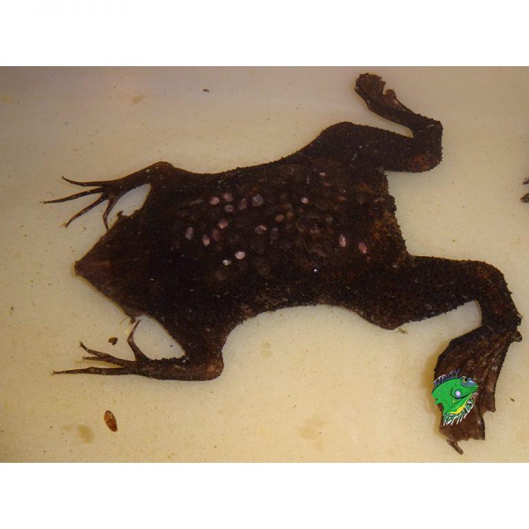 Surinam Toad Momma