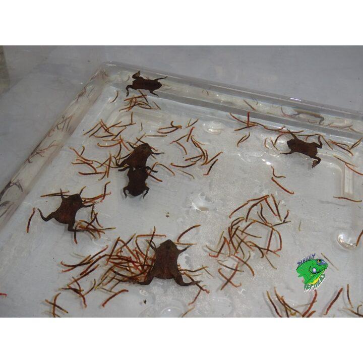 Surinam Toad babies feeding on blood worms