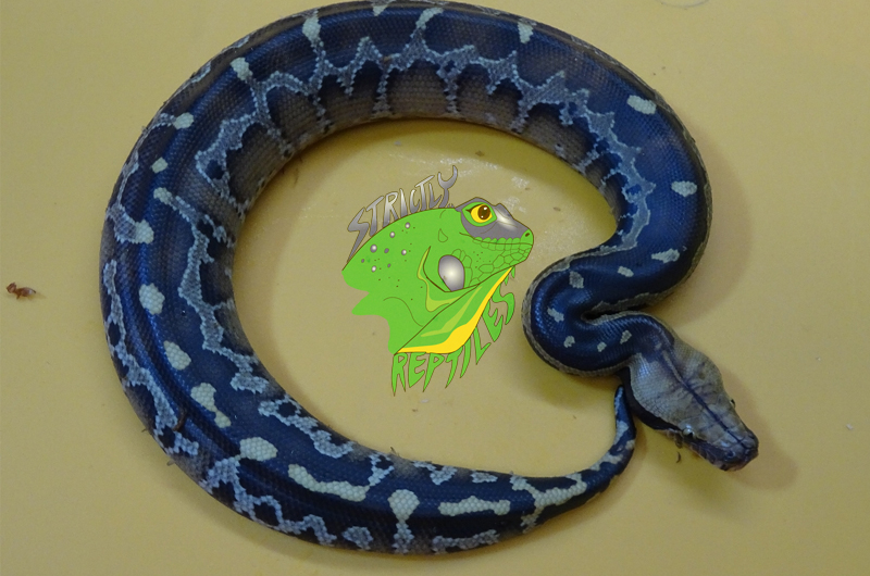 Reptile Breeders Archives - Strictly Reptiles