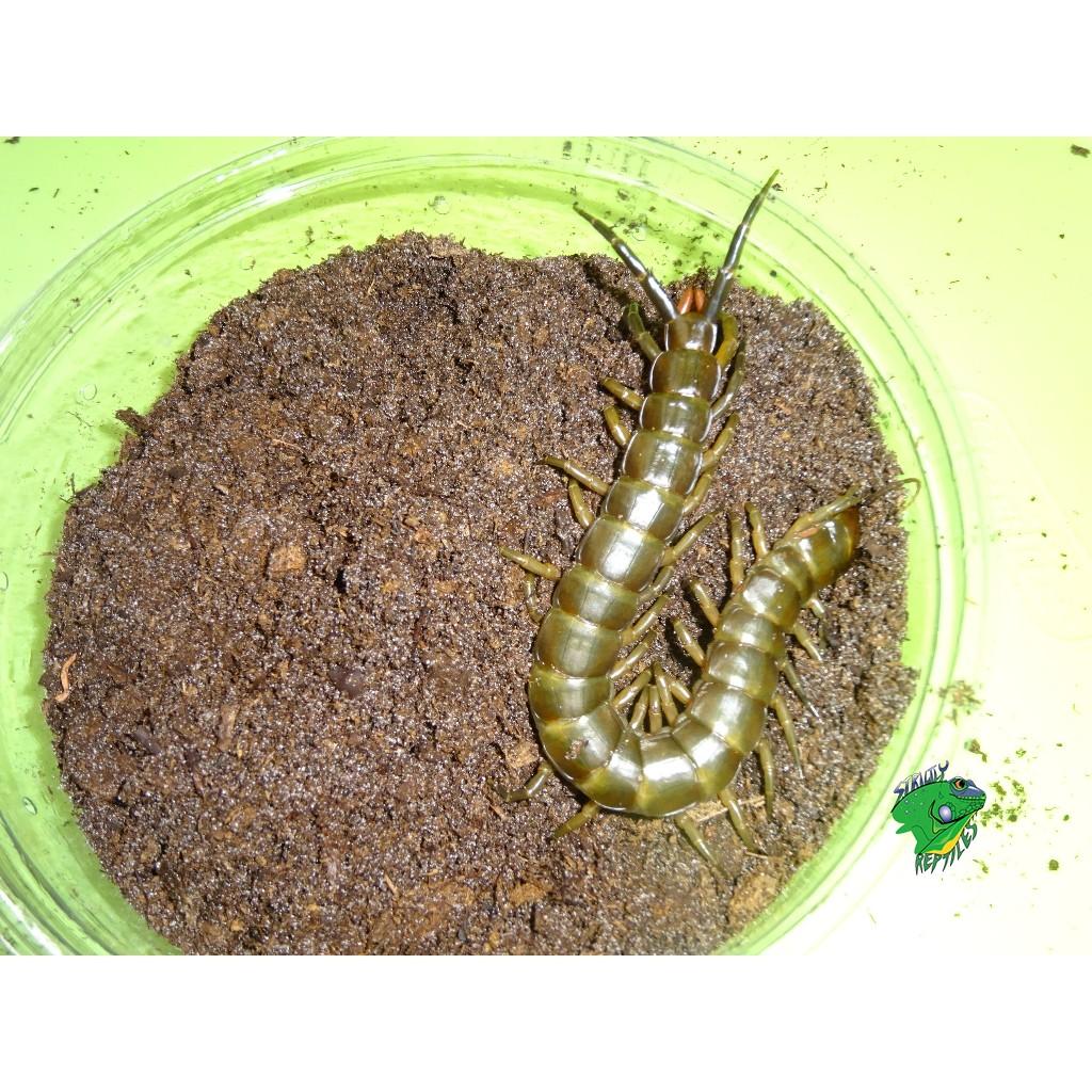 Solomon Island Giant Centipede - Juveniles to Adults