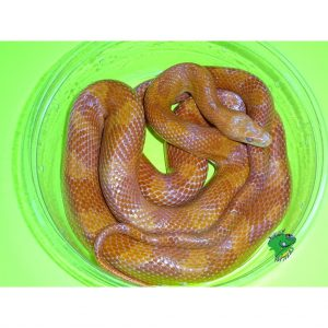 Corn Snakes Archives - Strictly Reptiles