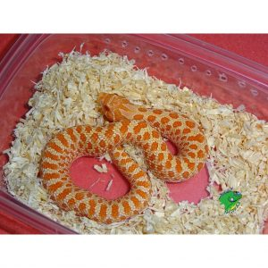 Snakes/Miscellaneous For Sale | Strictly Reptiles Online Store
