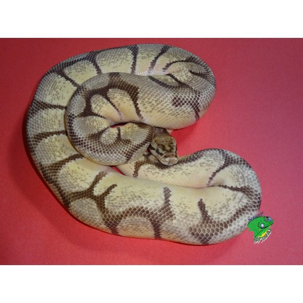 Ball Pythons For Sale | Strictly Reptiles Online Store