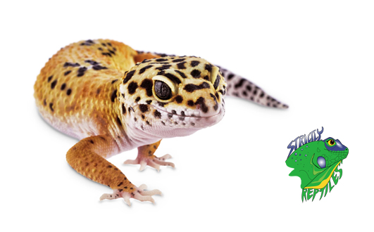 Wholesale Geckos For Sale