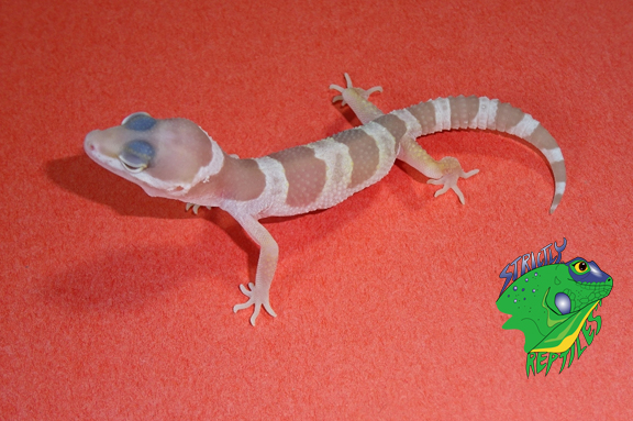 Baby Lizards For Sale