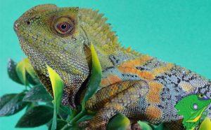Buy Online Lizards