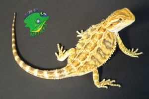 Beardies For Sale