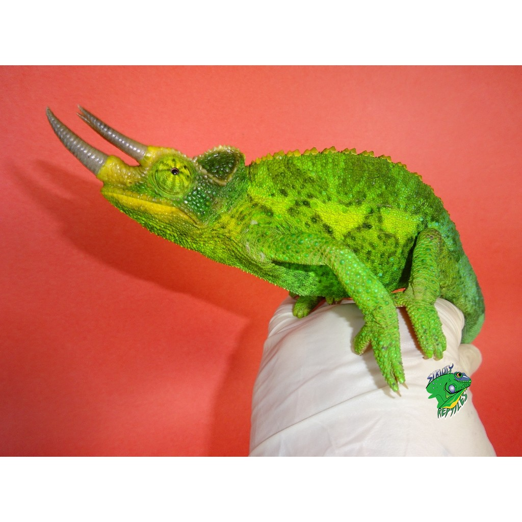 Jackson S Chameleon Males Strictly Reptiles