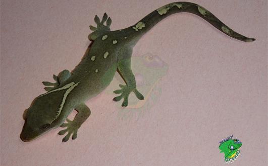 Pet Lizards Sale