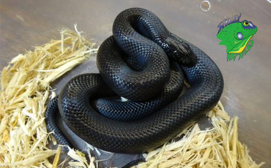 Snakes Pet For Sale