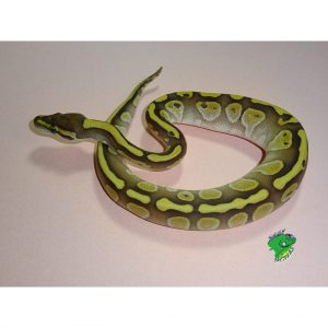 Strictly Reptiles is the number one resource to Purchase Reptiles Online, individually, and wholesale.