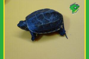 Wholesale Turtles