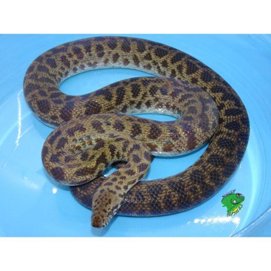 Online Wholesale Reptiles