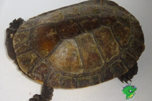 Wholesale Turtles for Sale